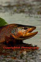 Brown Trout Art